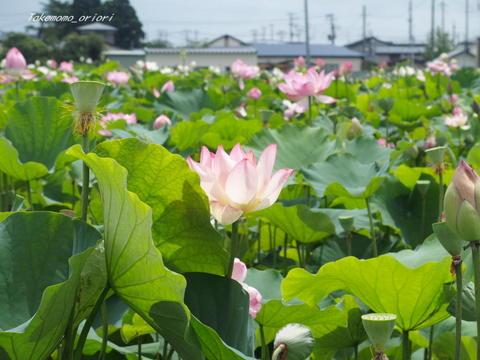 2019-08-01蓮 (4).jpg